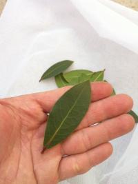 大阪阿倍野ゲストハウスおどり 月桂樹の葉