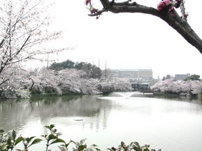 阿倍野 桃ヶ池公園の桜 満開です
