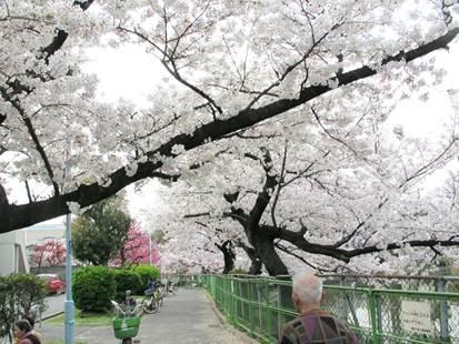 阿倍野 桃ヶ池公園の桜 桜のトンネル