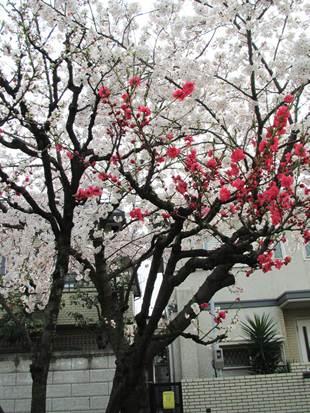阿倍野 桃ヶ池公園の桜 赤とピンク