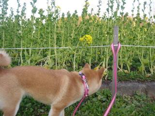 菜の花の匂いをかぐひよ