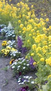 菜の花花壇