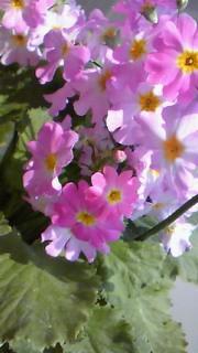 4月18日 桜草