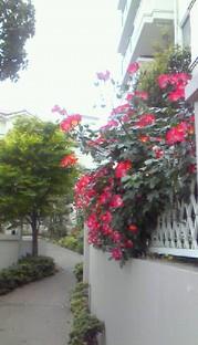 5月11日 薔薇