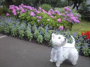 紫陽花とパリス