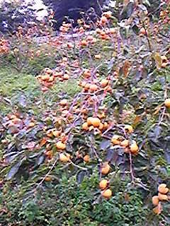柿まんさい