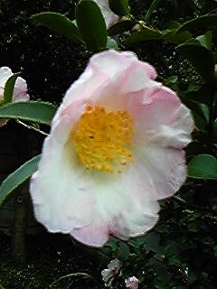 庭のサザンカの花