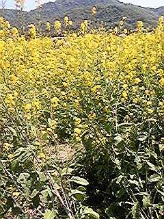 090419笠岡の菜の花