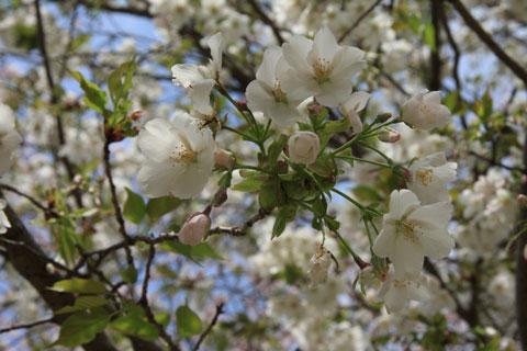 1104桜