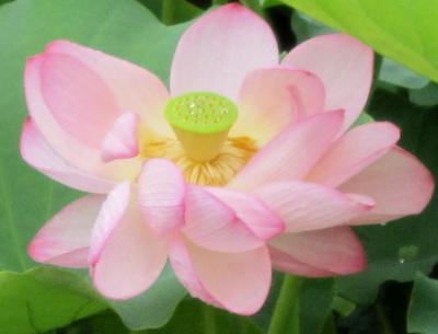 蓮池の蓮のお花がさきました。