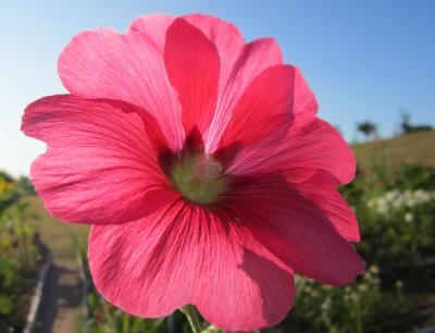 いつものランコース 夏の赤いお花