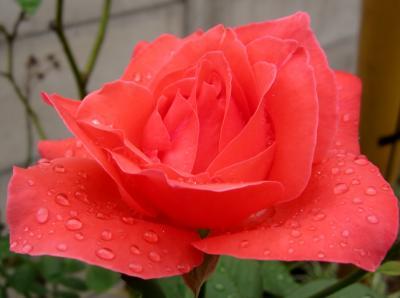 オレンヂ色の薔薇