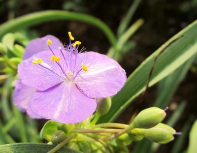 いつものランコース 紫つゆ草