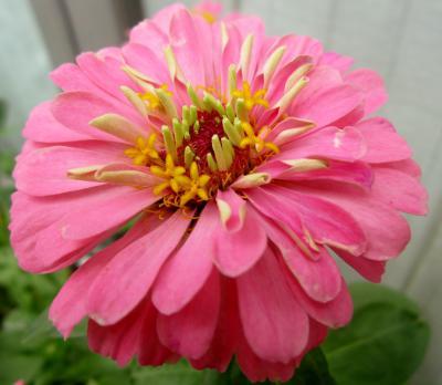 百日草 ピンク