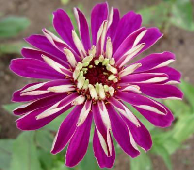 百日草 紫