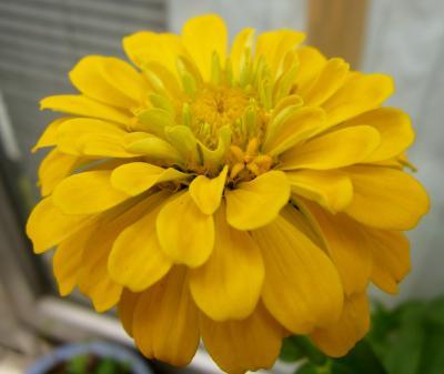 百日草 黄色