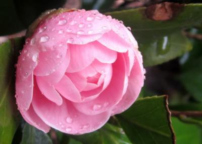 ピンクのかわいい椿