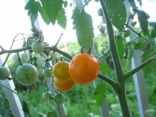 オレンジミニトマト