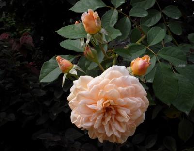 rose910