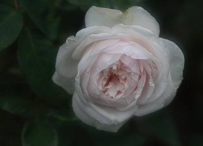 rose913