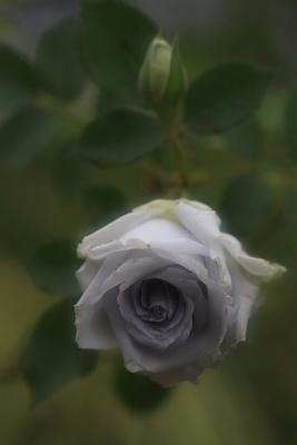 rose915