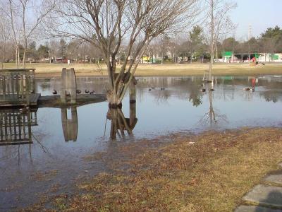 公園の拡大した池とカモさん