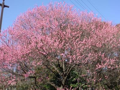 立派な梅の木だわ♪