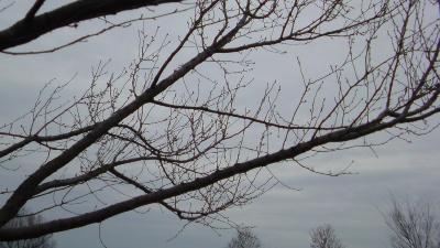 早咲きの桜のつぼみもまだまだ小さい