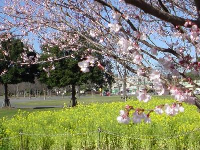 桜と菜の花。いかにも春ってかんじ~