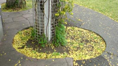 こんなに黄色い花が落ちてしまってるわ