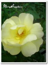 20090103_rose