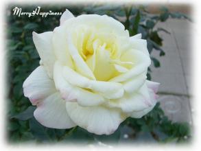 whiterose2007aut