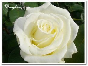 white_rose20081231