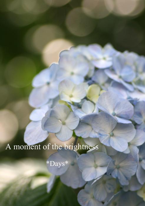 ひかり紫陽花[1]