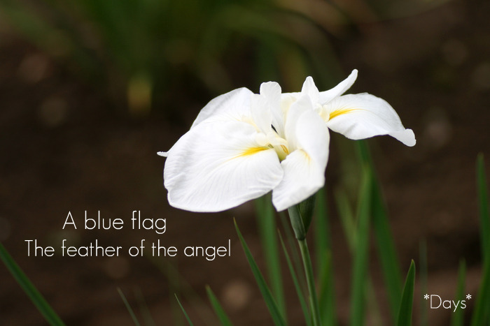 花菖蒲天使の羽