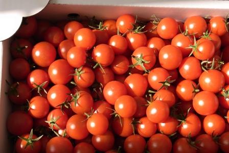 110329 清流トマト