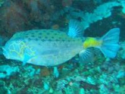 タオ島 魚 ハコフグ