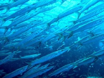 タオ島 魚 シェベロンバラクーダ
