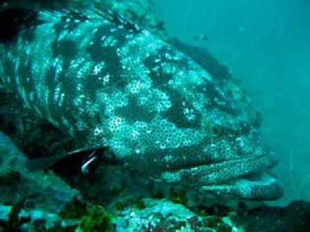 タオ島 魚 ヤイトハタ
