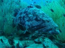 タオ島 ダイビング 魚 ヤイトハタ