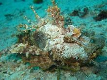 タオ島 ダイビング 魚 ヒメオニオコゼ