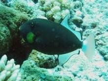 タオ島 ダイビング 魚 クロモンガラ