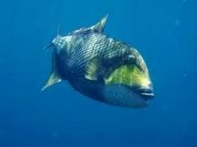 タオ島 ダイビング 魚 ゴマモンガラ