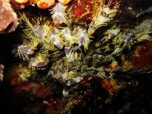 タオ島 ダイビング 魚 ウミシダ