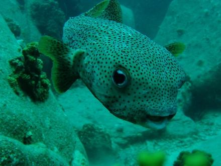 タオ島 ダイビング 魚 ネズミフグ 正面