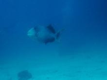タオ島 ダイビング 魚 キヘリモンガラ
