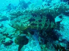 タオ島 魚 ダイビング アカマダラハタ