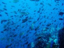タオ島 ダイビング 魚 クロリボンスズメダイ