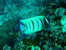 タオ島 ダイビング 魚 ロクセンヤッコ