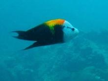 タオ島 ダイビング 魚 ギチベラ
